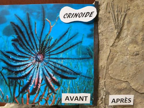 Montage de photos montrant l'œuvre de la fossilisation sur un spécimen de crinoïde trouvé à la carrière de Château-Richer