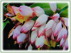 Mesmerizing light pinkish flowers of Alpinia zerumbet (Shell Ginger, Butterfly Ginger, Pink Porcelain Lily), 25 April 2017
