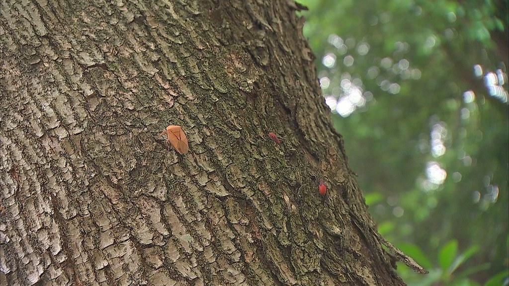 荔枝椿象有很好的保護色,對台灣原生植物來說,陌生且帶來傷害的。