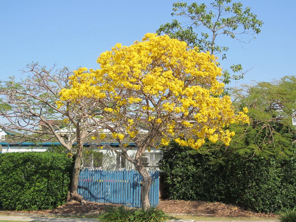 Yellow Flowering Trees Morningside Brisbane Gregory Cope Flickr