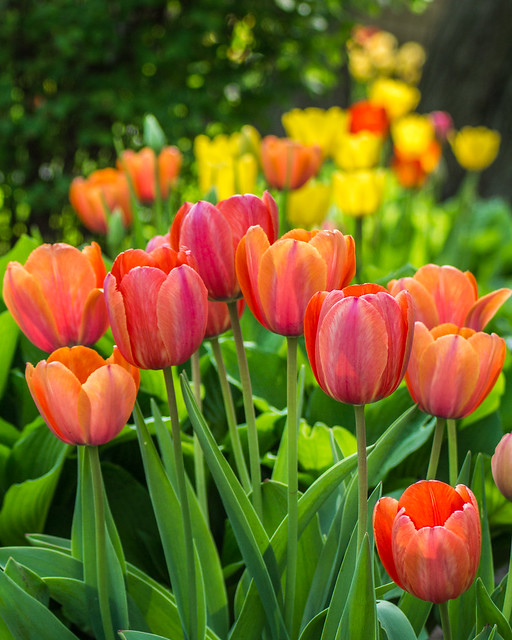 Tulips, Spring, Garden, Colorful