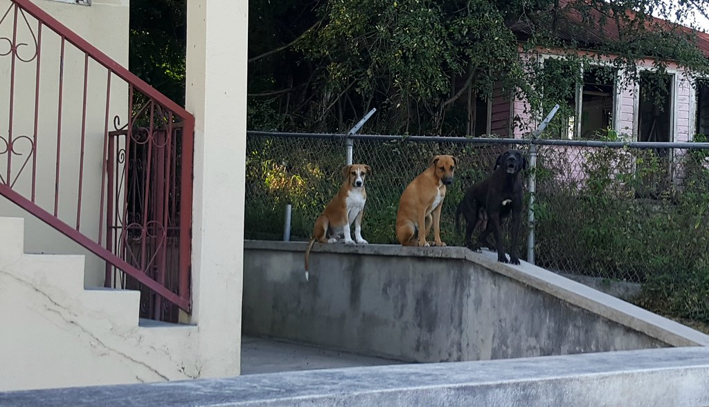 Dogs on a wall, Antigua
