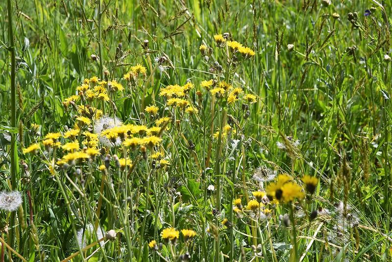 Wild Flowers 29.04 (1)