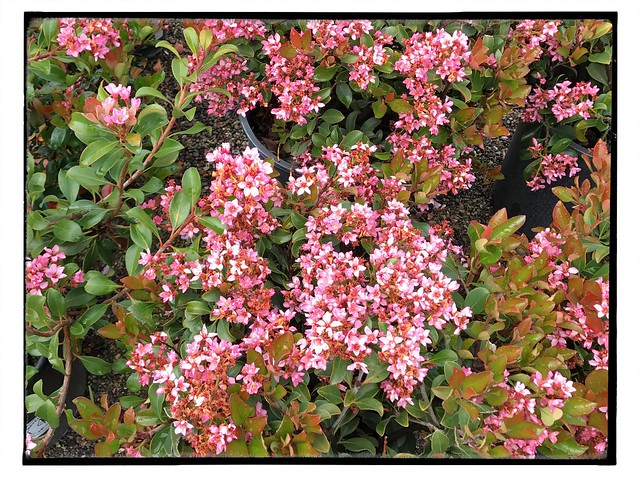 Indian hawthorn, Raphiolepsis indica, a shrub I loathe.