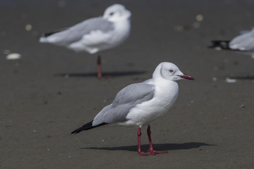 Hartlaub's Gull Chroicocephalus Hartlaubii