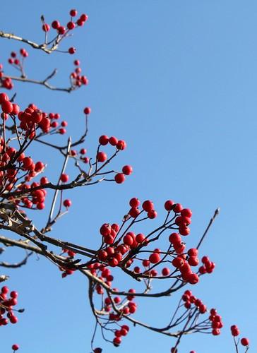 Sorbus aria - alisier blanc 34024348830_b526601de1