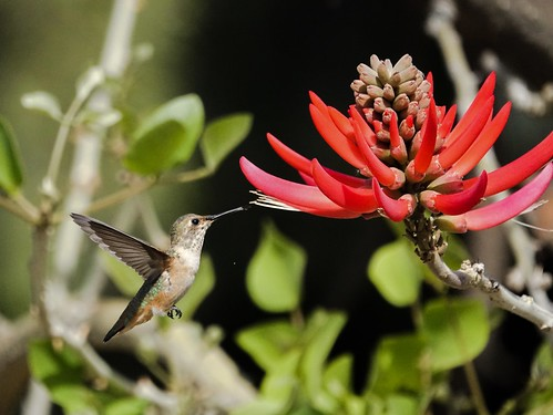 Hummingbird at the coral tree