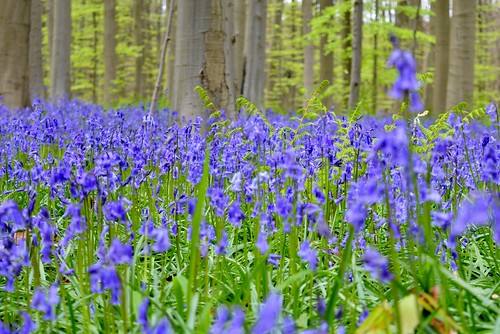 Flowering Forest of Hallerbos