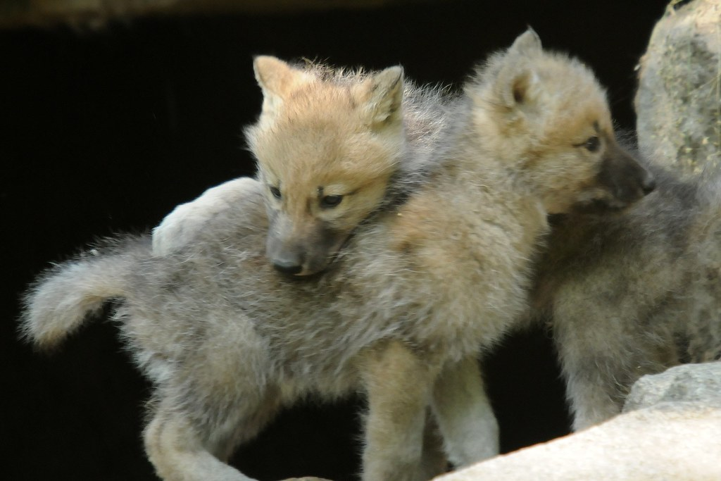 canis lupus hudsonicus kanadischer wolf im zoo berlin can flickr. Black Bedroom Furniture Sets. Home Design Ideas