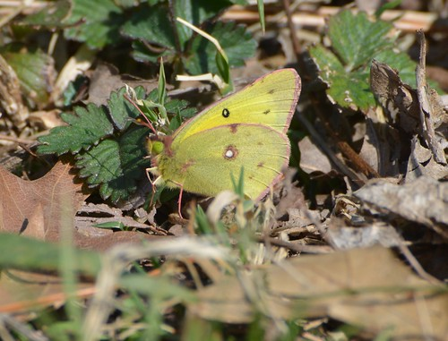 Clouded/Orange Sulphur