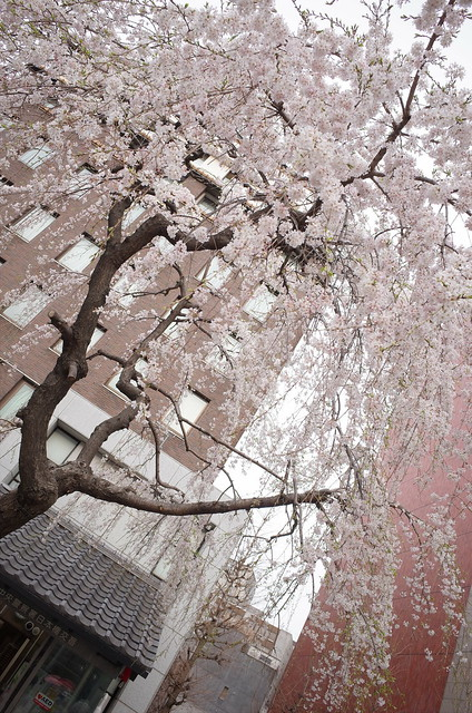 Weeping cherry at Nihonbashi bridge 02