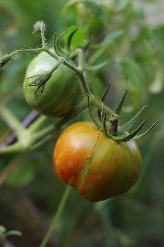 paticheri_tomatoes2017 (5)