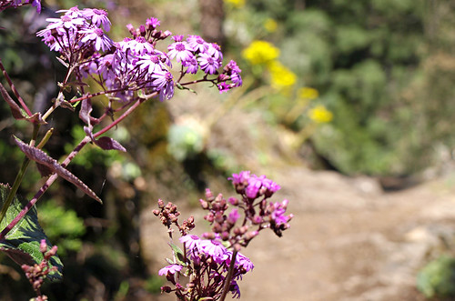 Spring flowers, Orotava Valley, Tenerife