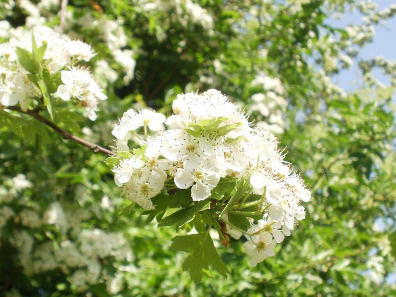 Beautiful White Tree Blossoms