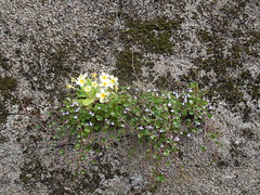 2017-04-10 2_Wall flowers