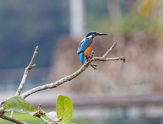Kingfisher | by RandomIbis2k12