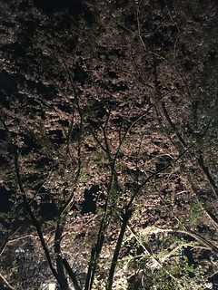 4月15日の夜桜
