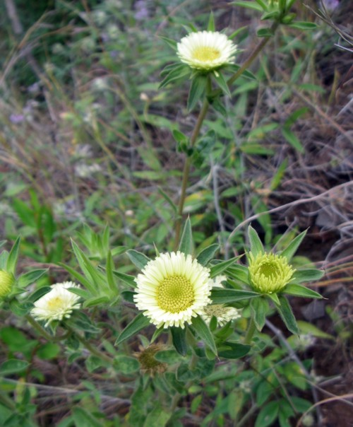 Asteriscus spinosus 34217602412_cf501dcbee_o