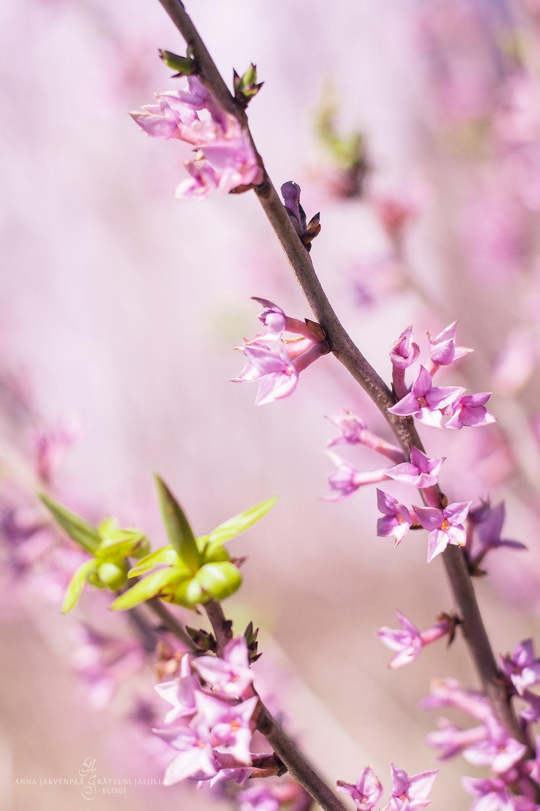 Mezereon flowers