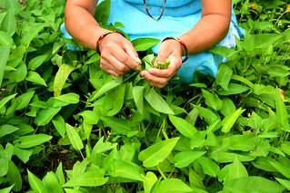 A woman picks water spinach, popularly known as Kangkong from her kitchen garden. Kankong leaves are naturally rich in dietary fiber, protein, calcium, iron and vitamins which are highly nutritious for pregnant women and growing children. | by USAID Nepal