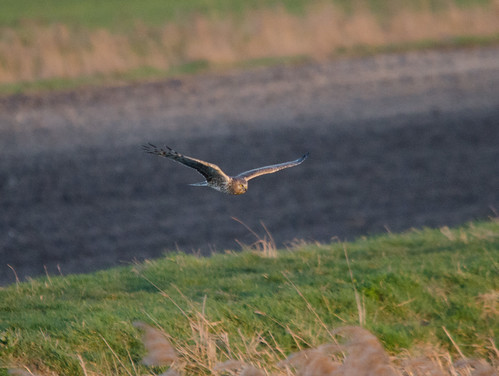 Hen Harrier | by markhows