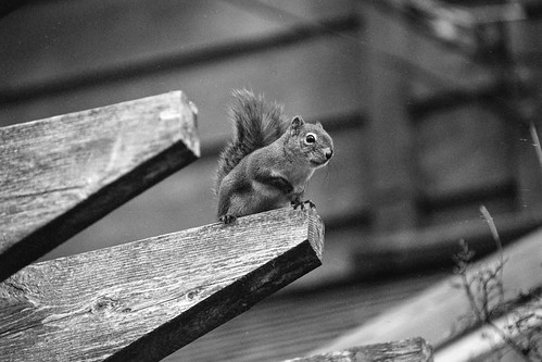 Squirrel 1 | by chrism229