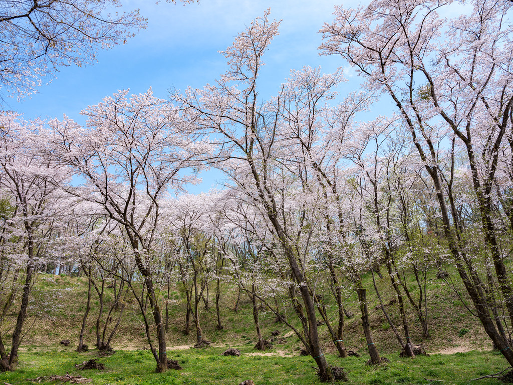 滝山城址の桜2017②