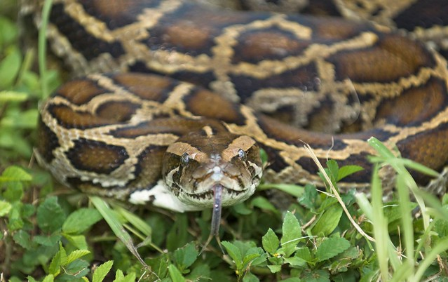 photo of Burmese Python