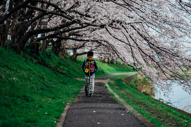CherryBlossoms_05
