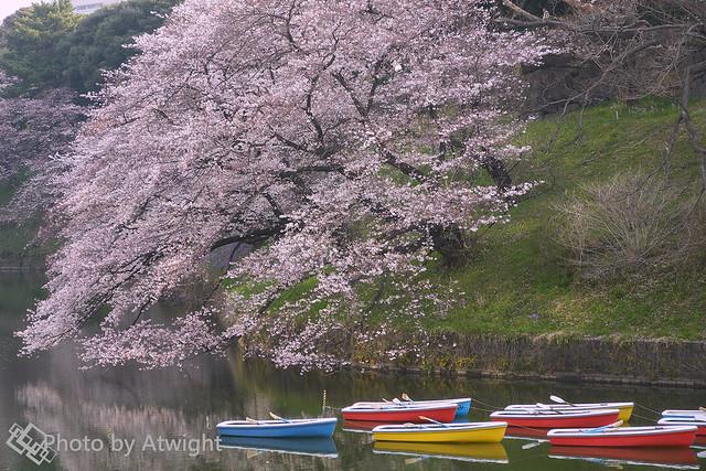 First Sakura 2017