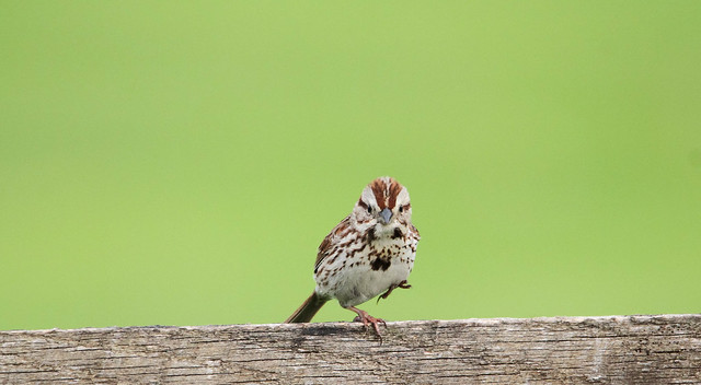 Song Sparrow yoga