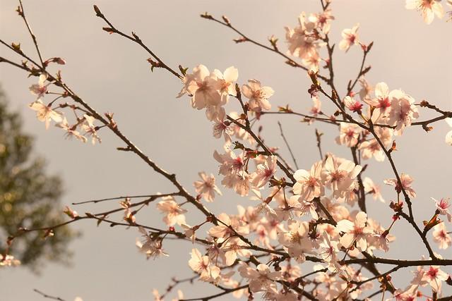 伊豆山稜線歩道の桜