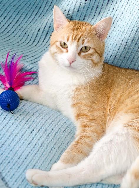 Robin, gato blanco y naranja guapo y súper dulce esterilizado, +inmunodeficiencia nacido en Marzo´15, en ADOPCIÓN ESPECIAL. Valencia. ADOPTADO. 33956566006_e96c727f42_z