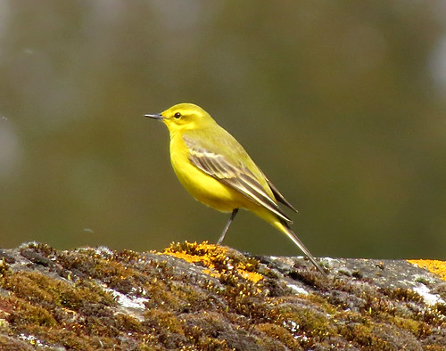 Yellow Wagtail Motacilla flava flavissima Tophill Low NR, East Yorkshire April 2017
