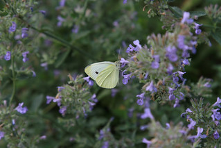 butterfly in catmint by james casey | by reading my tea leaves