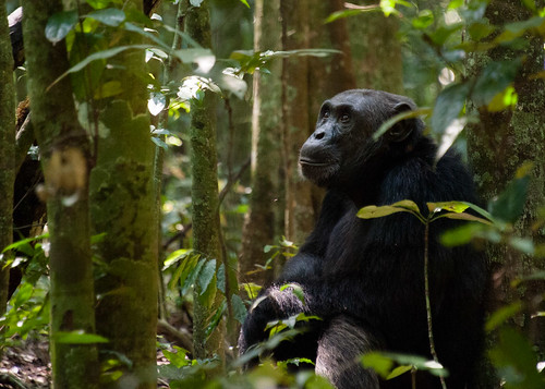 Chimpanzee at Kibale Forest | by _Xin