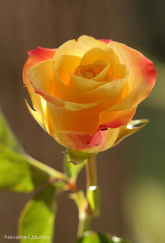 Nevena uzurov a kiss of light nevena uzurov flickr for What color rose is friendship