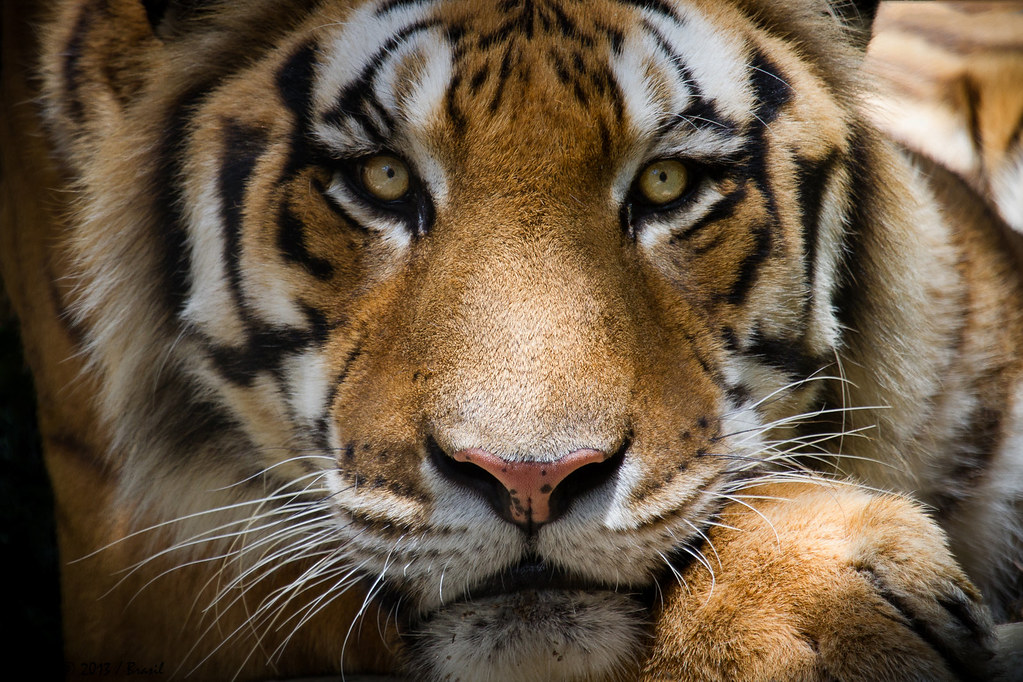 Tigre de bengala panthera tigris bengal tiger flickr for Bengala asia