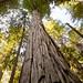 Redwood perspective