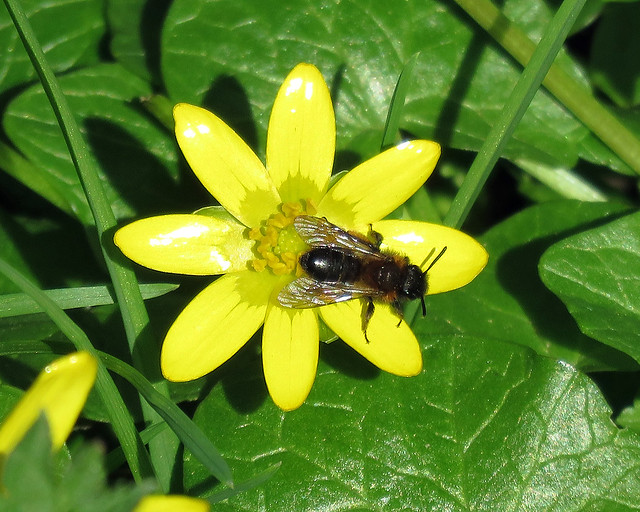 Gwynne's Mining Bee - Andrena bicolor