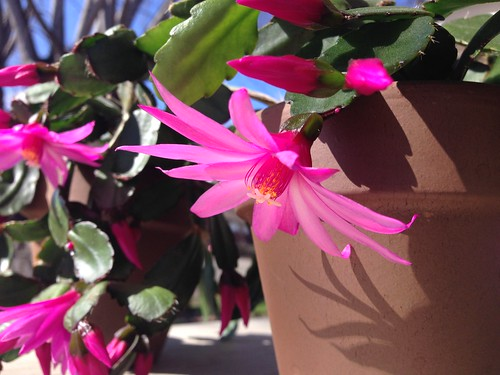 NOID Easter cactus