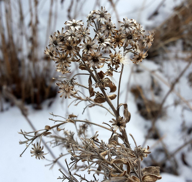 grayish-brown stiff goldenrod plant with barely any seeds left, with snow in the background