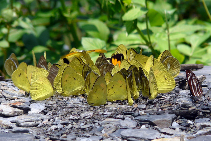 照片3在河床上吸水的蝶群是非常吸睛的環境教育素材