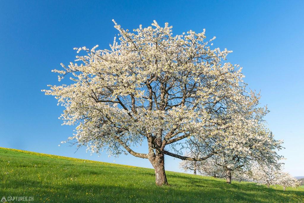 Cherry bloom 3 - Baselland