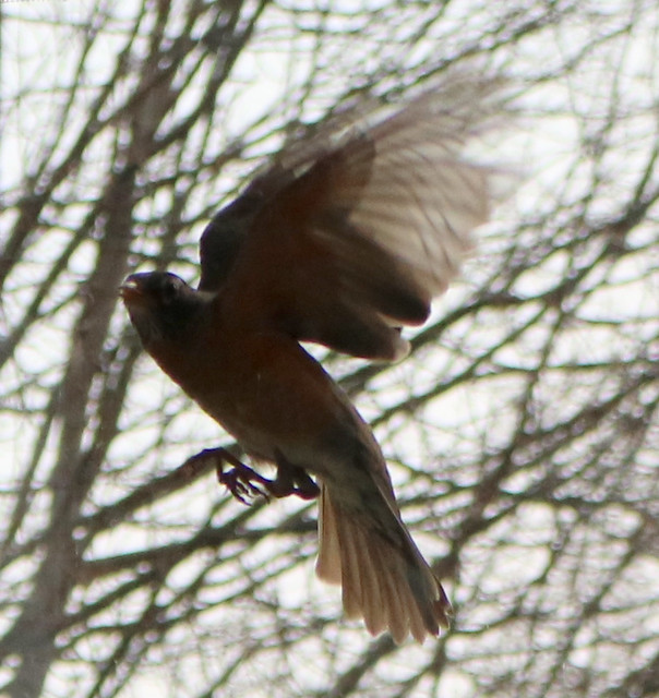 hovering in front of the window, wings back, feet down