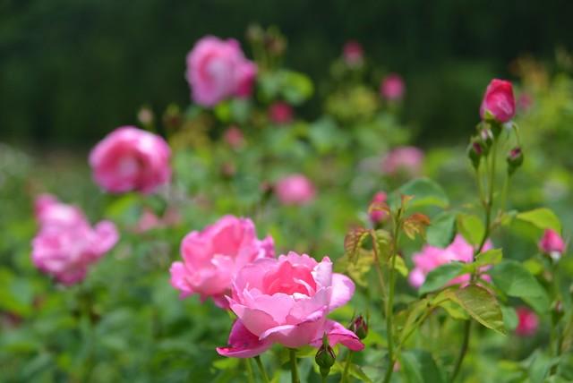 [url=https://www.flickr.com/photos/... 薔薇園@飛騨河合・