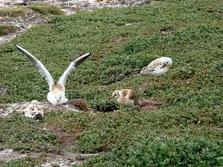 128 Vogels mogelijk jonge zilvermeeuwen