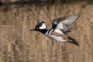 Hooded Merganser Male | by westcoastcaptures