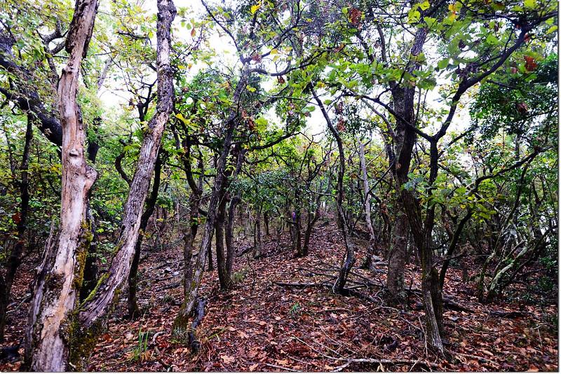 一場山槲樹純林 2