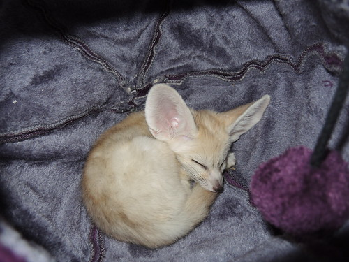 Tiny Fox in a pod